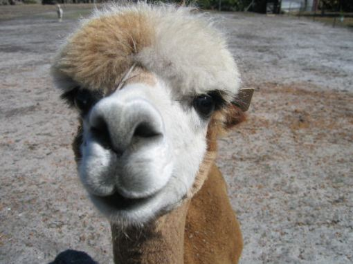 Picasso, an alpaca at Chudacud winery