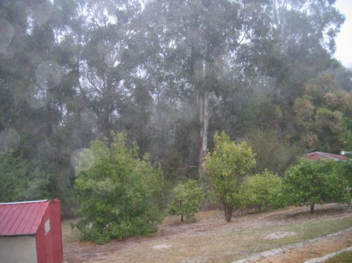 Fog through the eucalypts