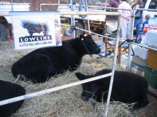 Lowline bulls