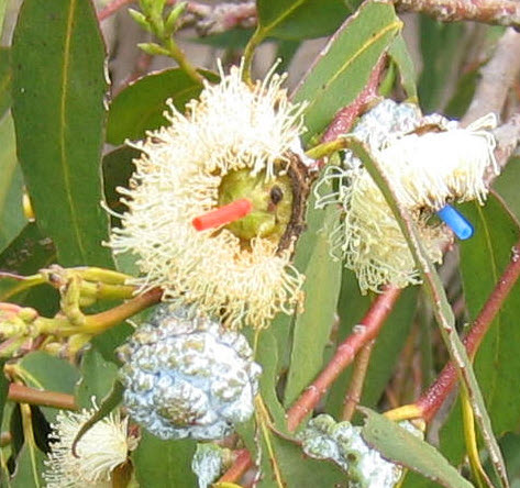 Male parts are removed to leave a scar in the resulting seed pod, pollen is collected from other plants, then deposited onto female part using a small tube which protects female being pollinated by other pollen