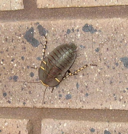 Female native cockroach on house wall