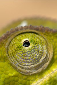 Eye of the chameleon
