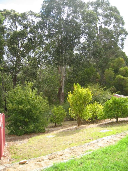 Towering eucalypts on bush block behind our house