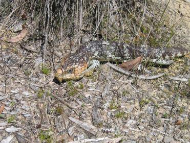 Bobtails were enjoying the spring weather too!