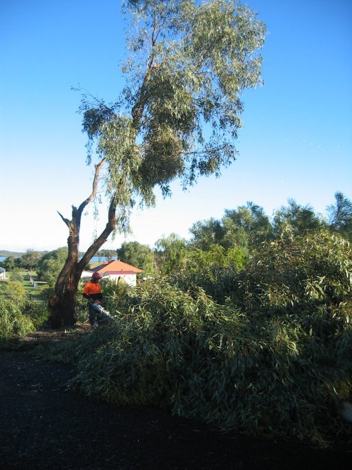 Tuart tree after the storm