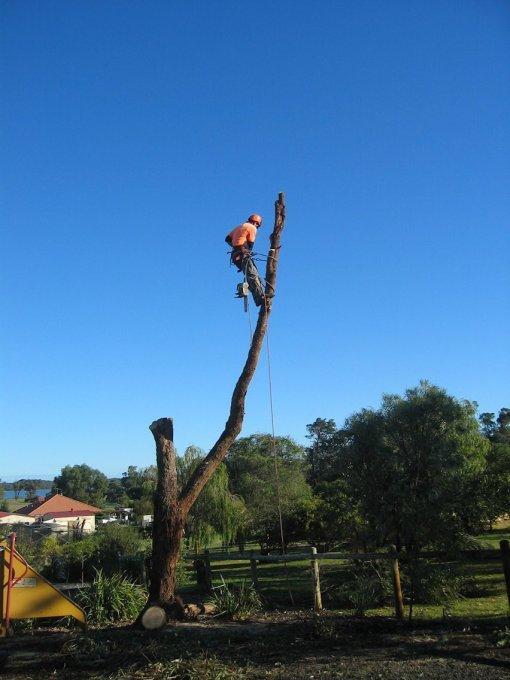 Tuart tree nearly gone