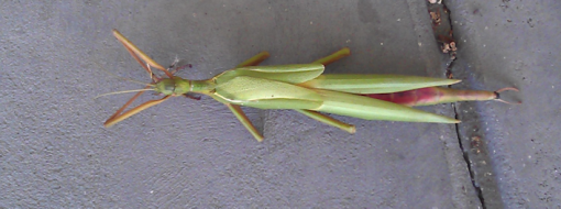 stick_insect02