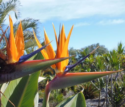 strelitzia_orange01