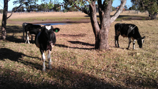 local_cattle03