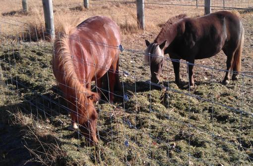mini_horses