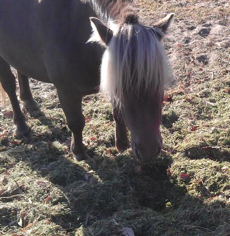 mini_horses_sandy01