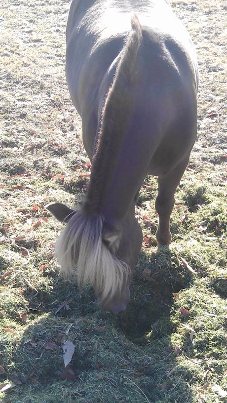 mini_horses_sandy02