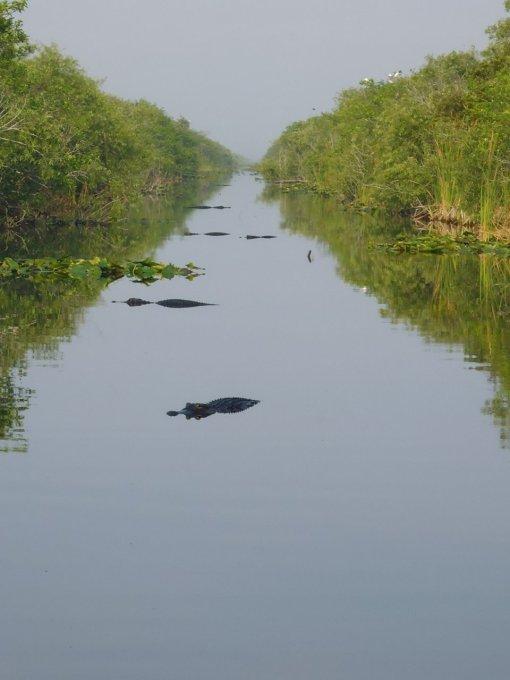 Wall to wall alligators