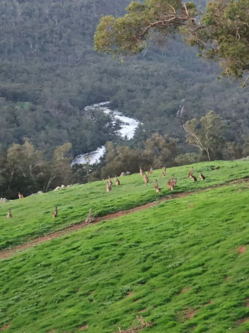 Valley view down to the Avon River; many kangaroos grazing on the hillside